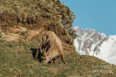 Ibex On The Mountains Art Print