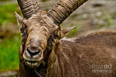 Ibex Pictures 206 Original by World Wildlife Photography