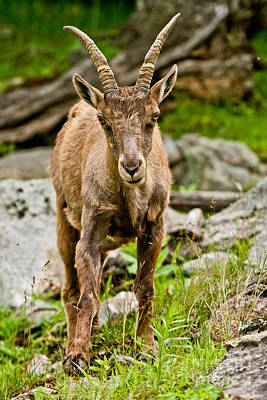 Ibex Pictures 210 Original by World Wildlife Photography