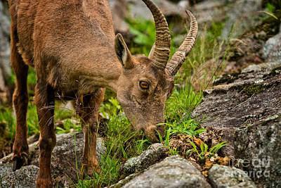 Ibex Pictures 212 Original by World Wildlife Photography