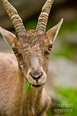 Ibex Pictures 213 Original by World Wildlife Photography