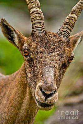 Ibex Pictures 216 Original by World Wildlife Photography