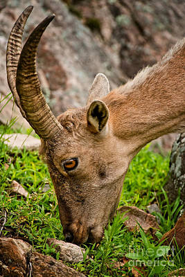 Ibex Pictures 218 Original by World Wildlife Photography