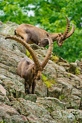 Ibex Pictures 230 Original by World Wildlife Photography