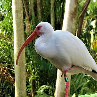 Photograph - Ibis 1 by Vijay Sharon Govender