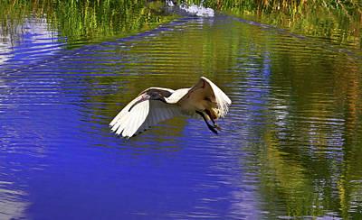 Photograph - Ibis And Another Pond Of Centennial Park by Miroslava Jurcik