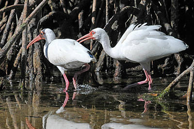 Ibis Photograph - Ibis Argument by Alan Lenk