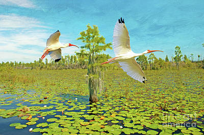 Ibis Photograph - Ibis At Okefenokee by Laura D Young