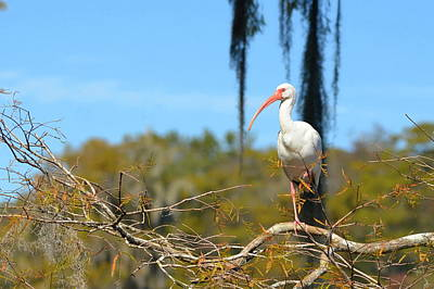 Photograph - Ibis At Wakulla Springs by Carla Parris