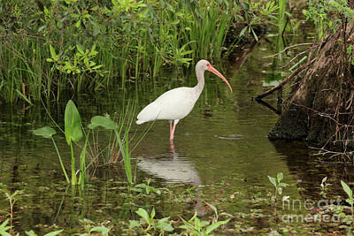 Photograph - Ibis Beauty In The Swamp by Carol Groenen