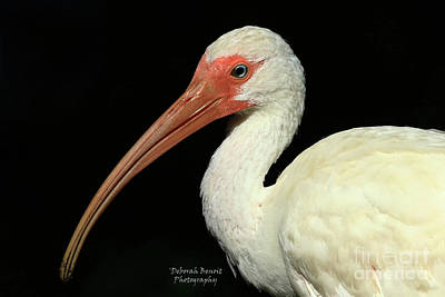 Photograph - Ibis Blue Eye by Deborah Benoit