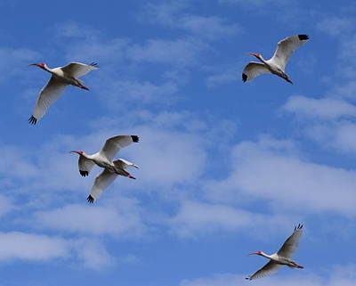 Photograph - Ibis Flight 1 by Sheri McLeroy