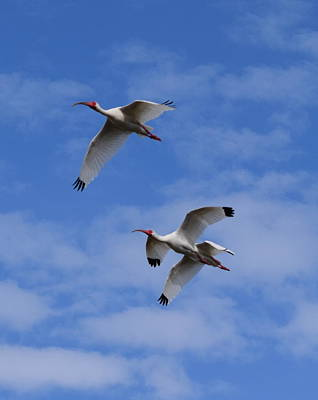 Photograph - Ibis Flight 2 by Sheri McLeroy