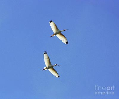 Photograph - Ibis Flight by Patti Whitten