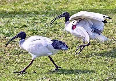 Photograph - Ibis In A Hurry  by Miroslava Jurcik