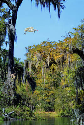 Photograph - Ibis In Flight At Wakulla Springs by Carla Parris