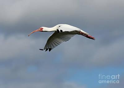 Photograph - Ibis In Flight by Carol Groenen