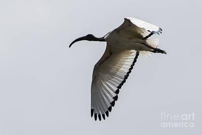 Bird Photograph - Ibis In Flight by Pravine Chester