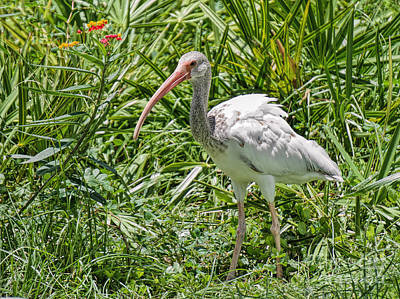 Photograph - Ibis In The Brush by Judy Kay