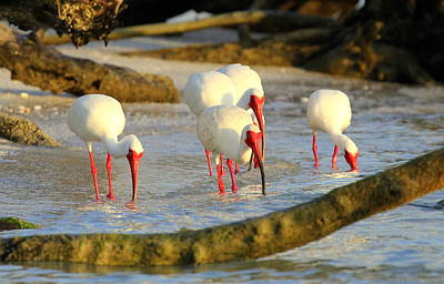Photograph - Ibis In The Evening by Sean Allen