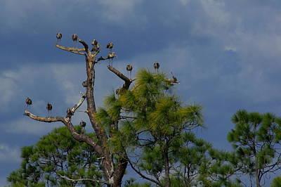 Ibis In The Pines - Debbie May Original
