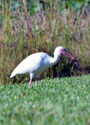 Photograph - Ibis Jackpot by William Tasker