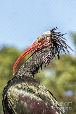 Photograph - Ibis by Kate Brown
