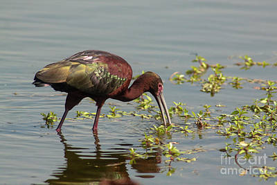 Photograph - Ibis Lit Up - Morning by Robert Frederick