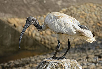 Photograph - Ibis Portrait By Kaye Menner by Kaye Menner