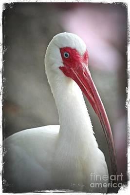 Photograph - Ibis Portrait by Carol Groenen
