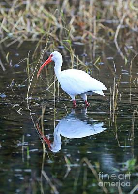 Photograph - Ibis Reflection by Carol Groenen