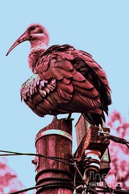 Observer Photograph - Ibis by Runaldo Ferre