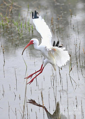 Ibis Photograph - Ibis Soft Water Landing by Carol Groenen