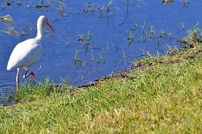 Photograph - Ibis Strut by Warren Thompson