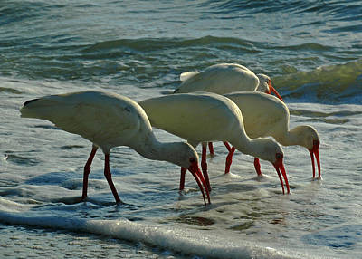 Ibises At Bowman Art Print by Juergen Roth