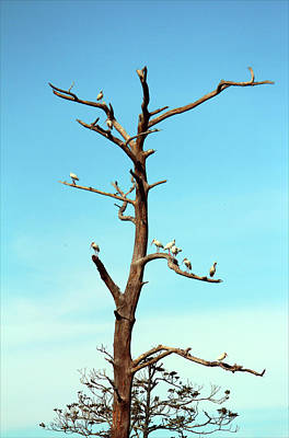 Photograph - Ibises On Bare Tree  by Cynthia Guinn