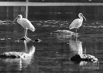 American White Ibis Photograph - Ibises On Rocks Black And White by Carol Groenen