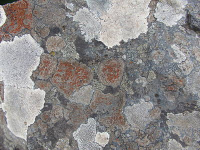 Photograph - Ice Age - Map Lichens On Rock by Robert Schaelike