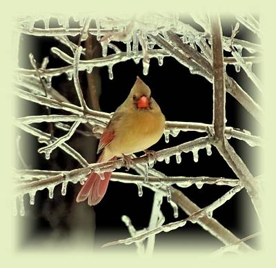 Photograph - Ice Cardinal - Bird by MTBobbins Photography