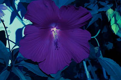 Photograph - Ice Cold Hibiscus by Aimee L Maher Photography and Art Visit ALMGallerydotcom