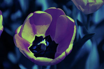 Photograph - Ice Cold Orange Tulip by Aimee L Maher Photography and Art Visit ALMGallerydotcom