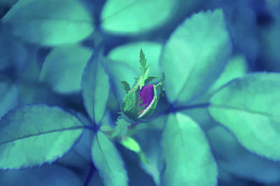 Photograph - Ice Cold Rosebud by Aimee L Maher Photography and Art Visit ALMGallerydotcom