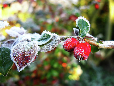 Photograph - Ice Crystals And Red Berries  by Tom Conway