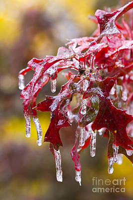 Photograph - Ice Oak Ornaments by Alycia Christine