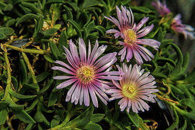 Photograph - Ice Plant Blossoms by Alana Thrower