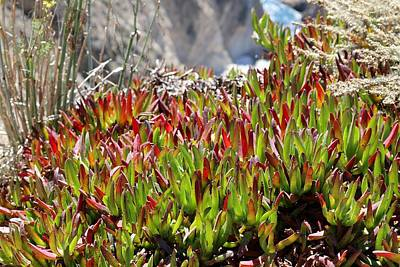 Photograph - Ice Plant  by Christy Pooschke
