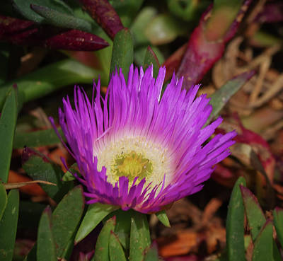 Photograph - Ice Plant Flower by Adria Trail