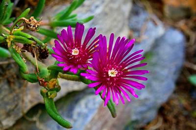 Photograph - Ice Plant In Rock Garden by Kathryn Meyer