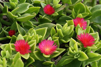 Photograph - Ice Plant by Kathryn Meyer