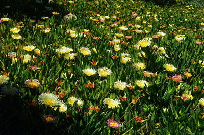 Photograph - Ice Plants In Bloom by Glenn McCarthy Art and Photography